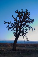 A Joshua tree, photographed in natural light at dusk.